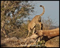 Cheetah on the lookout, Gudzani Road