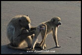 Baboon family life