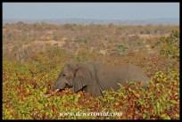 Elephant in the mopane