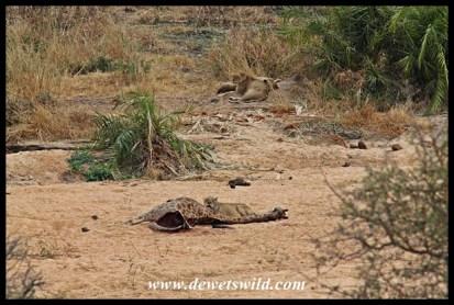 Lions on giraffe kill, very close to Tshokwane