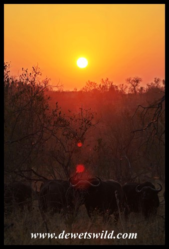 The sun rises over a herd of buffalo near Renosterpan