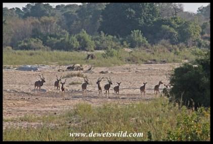 Kudu crossing a sandbank in the Sabie River