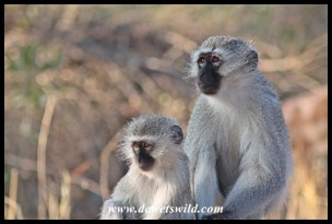 Vervet monkey family portrait