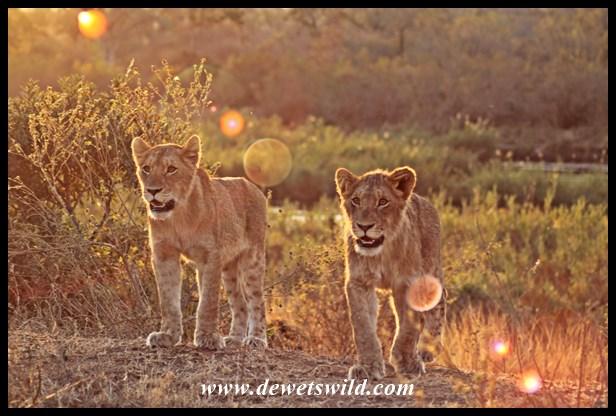 Memorable lion sighting near Skukuza, 3 August 2014
