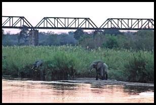 Elephants in the Sabie, Skukuza's iconic railway bridge in the background