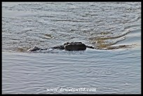 A huge crocodile interfering with the flow of the Sabie River