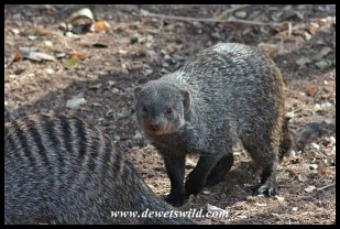 Banded mongoose in Skukuza