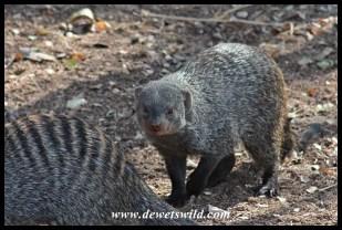 Banded mongoose in Skukuza