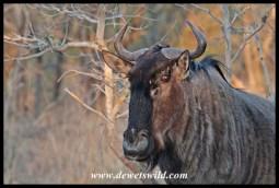 Blue wildebeest at Renosterpan