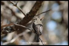 Flycatcher in camp