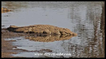 Crocodile reflection on Sunset Dam
