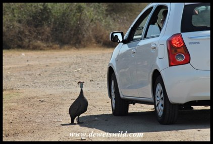 Helmeted guineafowl hoping for handouts