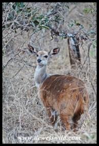 Bushbuck are common near Skukuza