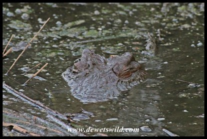 Crocodile camouflage