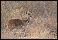 Bushbuck are common near Skukuza