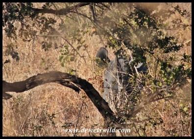Black rhino playing hide-and-seek