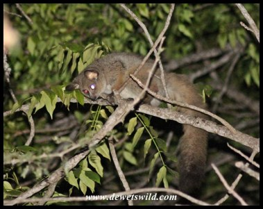 Walk around in camp after dark and you're bound to come across the thick-tailed bushbabies