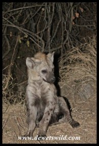 Hyenas patrol the fence at night, hoping for (illegal) handouts from campers