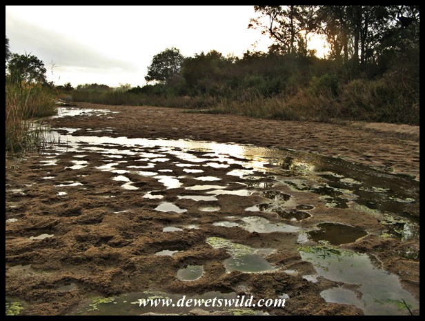 Reflections in animal track-puddles