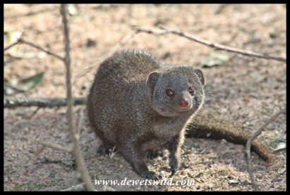 Dwarf mongoose in Pretoruskop