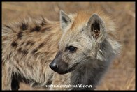 Young spotted hyena near Transport Dam