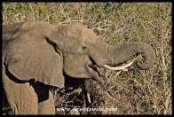 Elephant feeding on the Sand River road