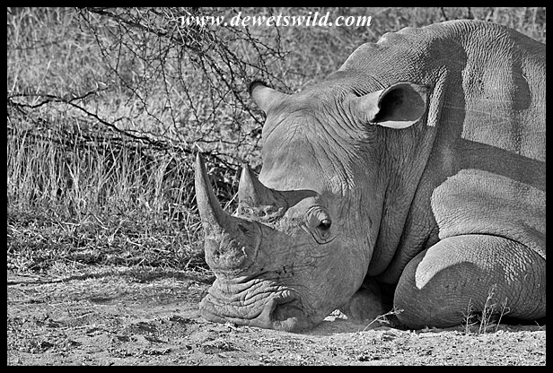 Is there a reason for this white rhino to look so despondent on World Rhino Day?