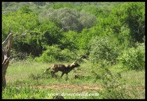 AfricanWildDog_Endurance (3)