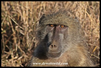 Baboon, S41
