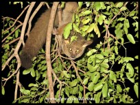 At night, Skukuza's bushbabies come out to play