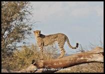 Cheetah, S41
