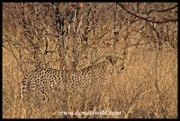 Cheetahs near Shingwedzi, 27 September 2014