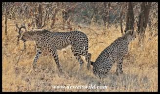 Cheetahs near Shingwedzi, 27 September 2014