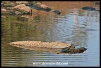 Crocodile, S41