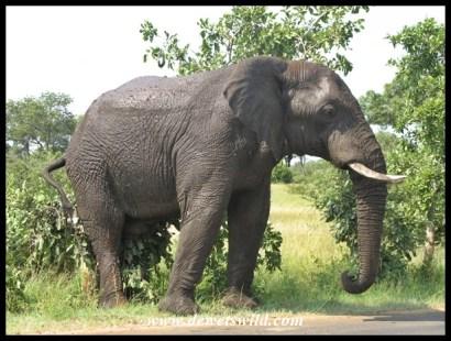 Elephant, H1-4