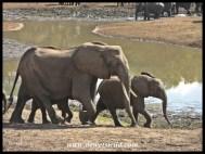 Elephant, Nsemani