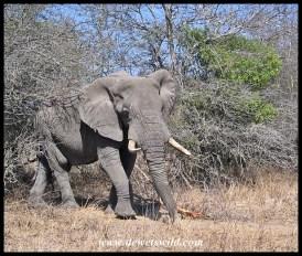 Elephant, Nwaswitsontso Loop