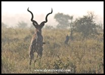 Fleeing kudu, H1-4
