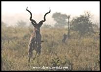 Fleeing kudu, H1-4