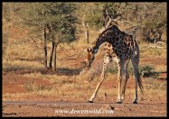 Giraffe, Girivana