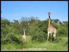 Giraffe, H1-4
