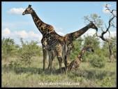 Giraffes, S41