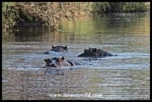 Hippos, S41