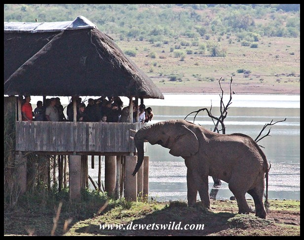 If he chose to, this bull in the Pilanesberg could easily reach someone in the viewing hide.