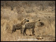 Hyenas, Ngotso