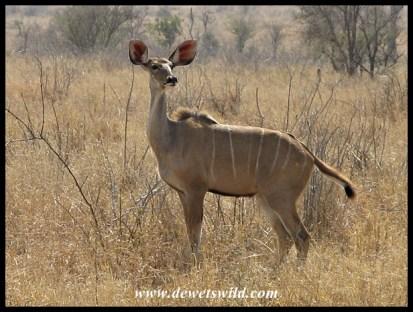 Kudu, H1-4