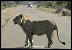 Lion, Mazithi