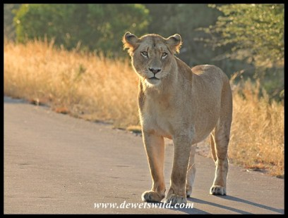Lioness, H7