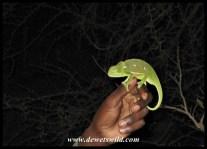 Satara Night Drive Chameleon