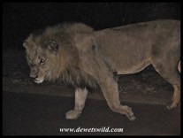 Satara Night Drive Lion